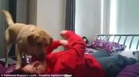 Эзнээ унаж татах үед сэргээдэг чадварлаг нохой олны анхаарлыг татаж байна