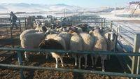 """""""Эмээлт"""" зах дээр амьд хонь 50 мянган төгрөгийн үнэтэй байна"""